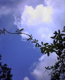 アケビの葉