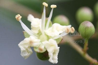 ヘナの花・白