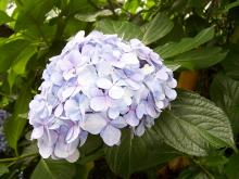 紫陽花の自信