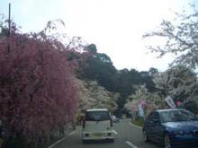 海津大崎しだれ桜