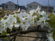 梨の花 1