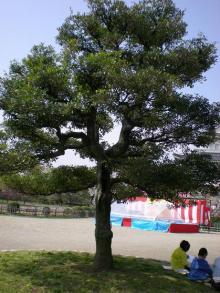 モッコクの木