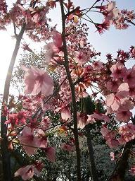 pinksakura
