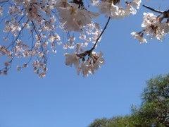 起雲閣の桜