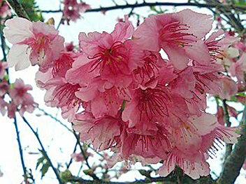 走れ!貧乏ビーマー!-石垣島の桜