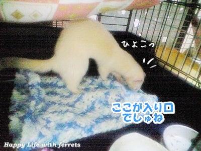 はっぴーらいふ with ferrets-喪中にて④