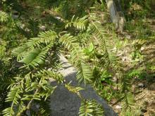 榧の木3 葉