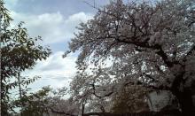 桜風景もと