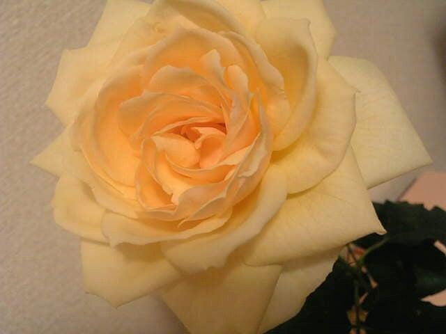rose0119