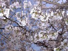 2008桜
