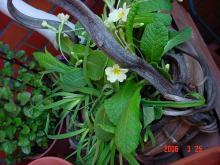 植え替えた花