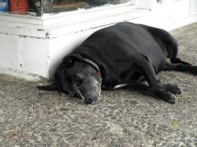カイルアコナの犬