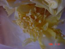 キャベツの小さな花