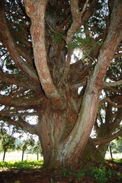 トトロの木内部