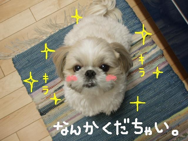 シーズー犬・むっくとモモの日常♪-なんかくれビーム!