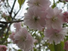 地域を応援する人たちの笑顔-桜1