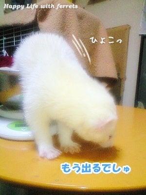 はっぴーらいふ with ferrets-体重チェック⑨