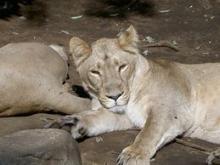 ライオン(2)