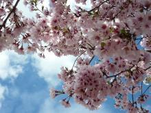 高遠の桜3