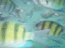 スノーキーのブログ-パヤ島ダイビング魚