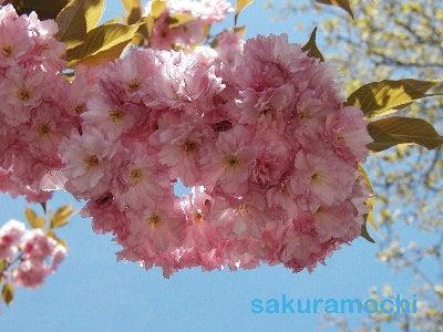 003sakuramochi
