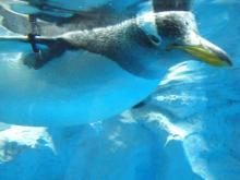 080331空飛ぶペンギン