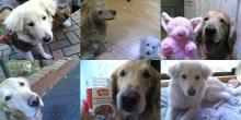 まっ白MIX「リリー」が新しい家族になりました!