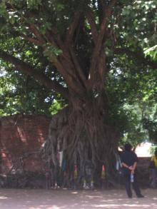 菩提樹の根に抱かれ