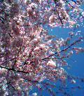 青空アーンド桜