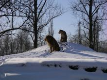 lions in snow
