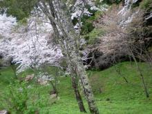 境内奥の谷の桜