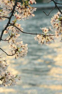 桜をみない