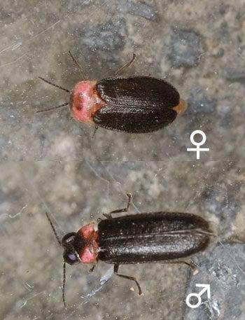 ヒメボタル雄雌