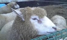 羊アップ.jpg