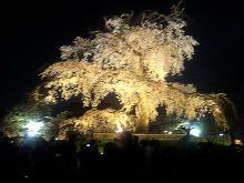 円山公園の桜②