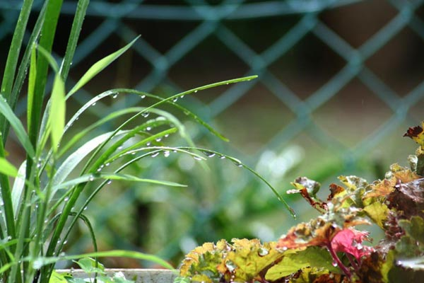 雨降りの庭・・・。