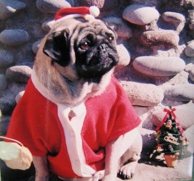 クリスマスパグ3