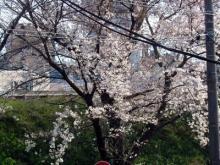 京都西京極サクラ