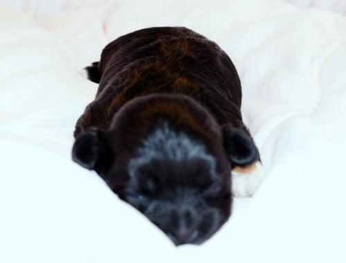 犬ブリーダー 子犬販売 (1ハニーわん)-黒 シーズー