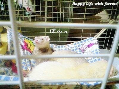 はっぴーらいふ with ferrets-喪中にて⑭