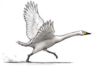 離陸する白鳥