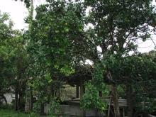 グレープフルーツの樹