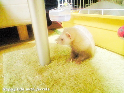 はっぴーらいふ with ferrets-喪中にて⑫