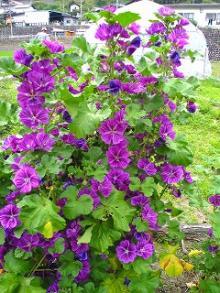 コモンマロウ花盛り