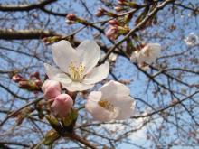 今年の初桜