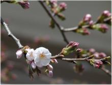 3161桜咲く