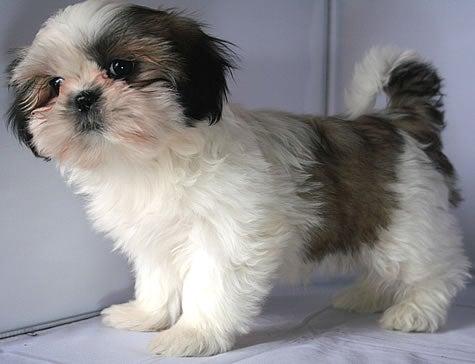 犬ブリーダー 子犬販売 (1ハニーわん)-シーズー ブリーダー 子犬