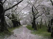 お堀の桜3
