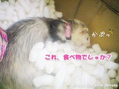 はっぴーらいふ with ferrets-喪中にて⑱