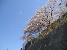sakurafubuki